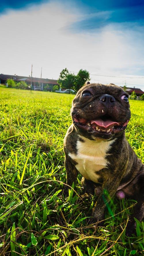 Gratis stockfoto met Franse bulldog, hond
