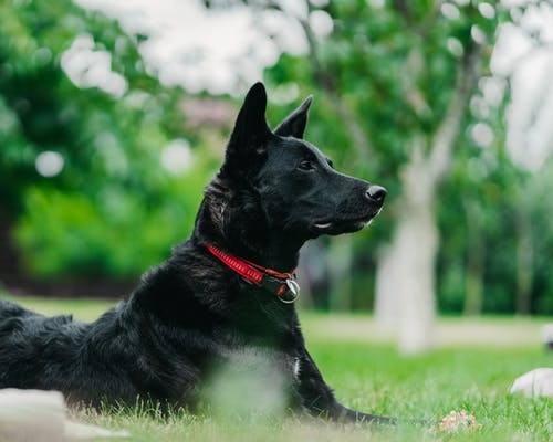 Foto d'estoc gratuïta de alerta, animal, animal domèstic, buscant
