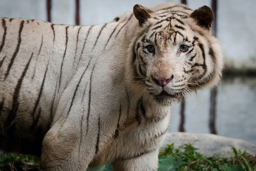 Close-up Photo of White Bengal Tiger