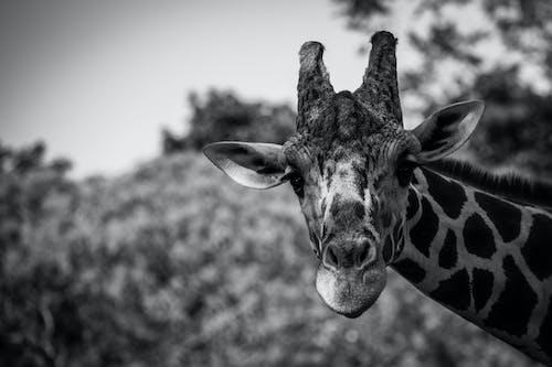 Fotobanka sbezplatnými fotkami na tému cicavec, divočina, divý, dlhý krk