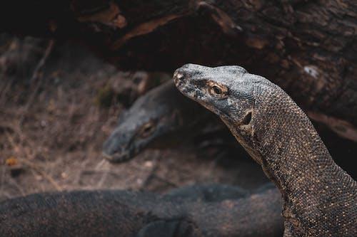 Close-up Photo of Komodo Dragons