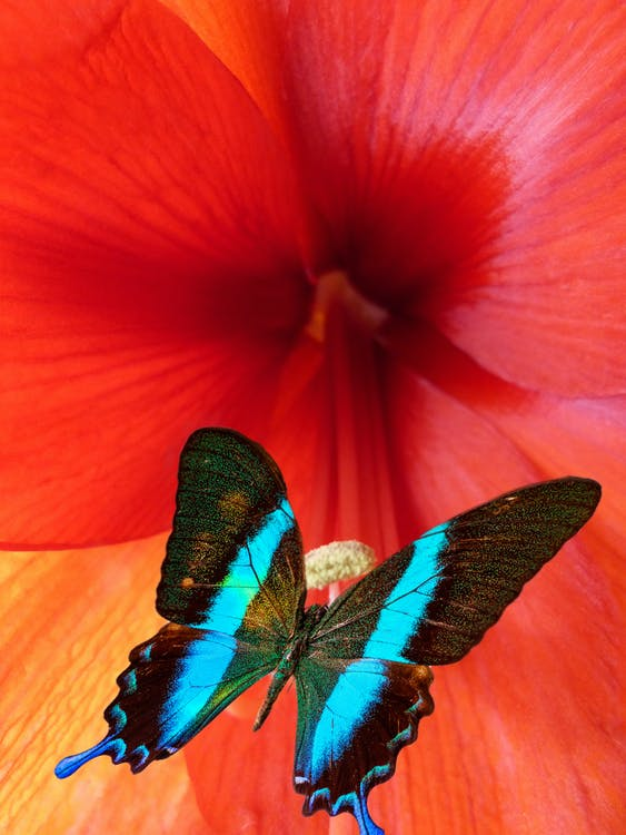 Close-Up Photo of Ulysses Butterfly Perched on Red Flower