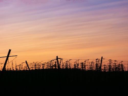 hopfenfeld, 傍晚的天空, 日落, 的hopfen 的 免費圖庫相片