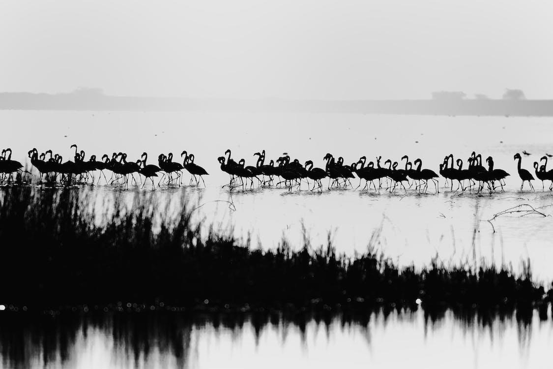 brodiví ptáci, černobílá fotografie, černobílý