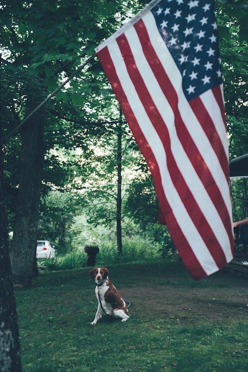 Gratis stockfoto met Amerika, Amerikaanse vlag, beest, canidae