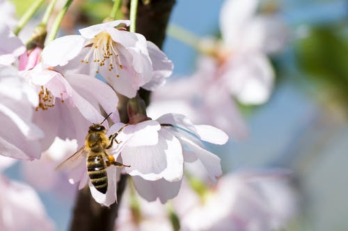 Gratis stockfoto met bestuiving, bij, bloeien, bloemblaadjes