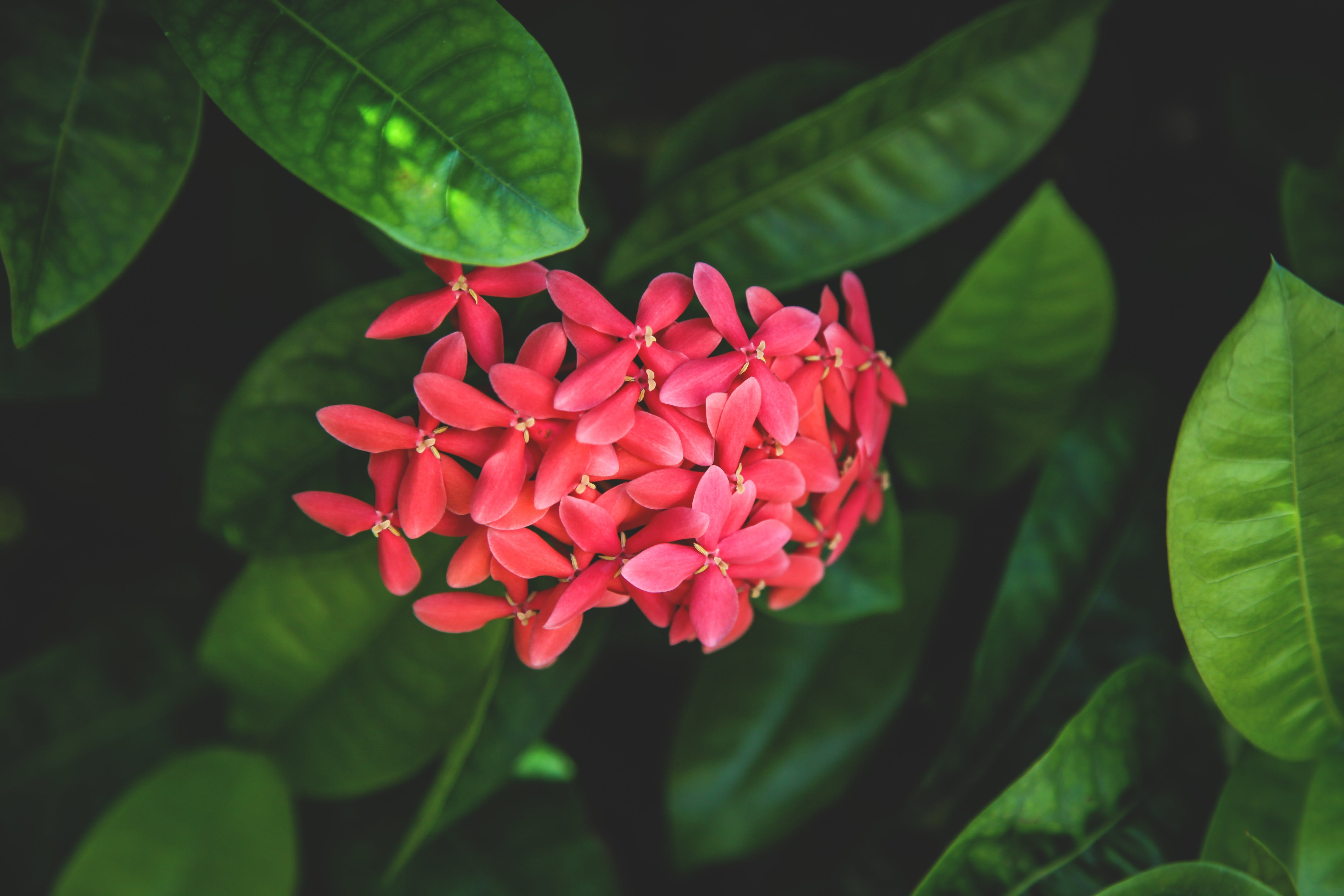 Red Ixora Flowers in Bloom Closeup Photography