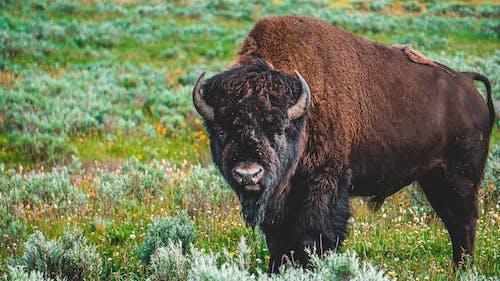 Imagine de stoc gratuită din adâncime de câmp, animal, animal domestic, bizon