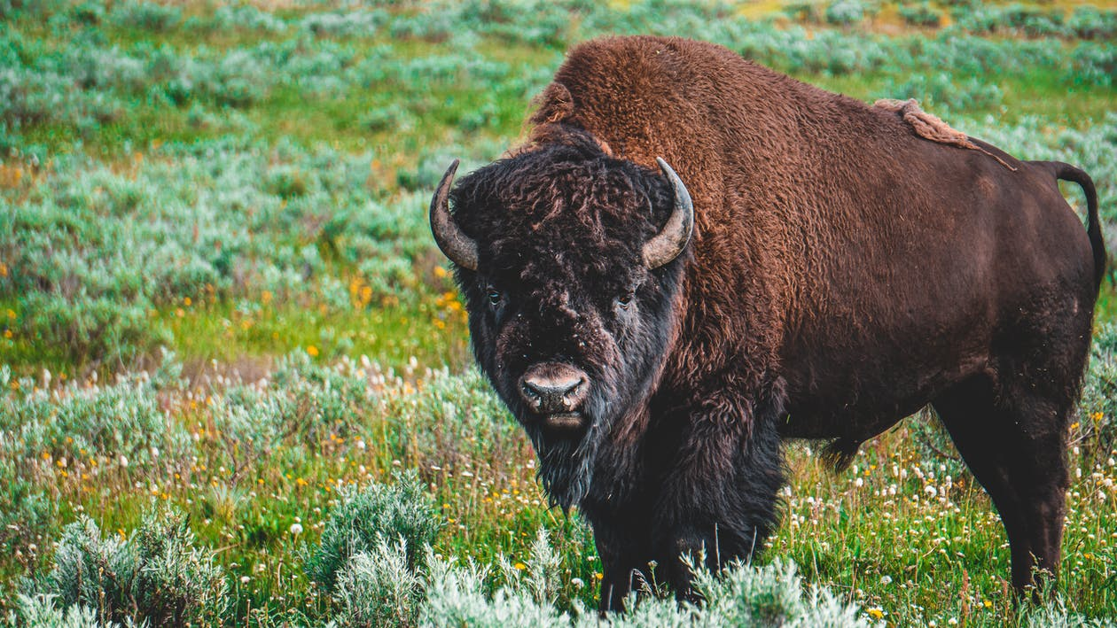 Photo of Bison on Grass Field