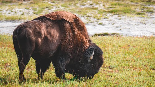 Photo of Bison Eating Grass
