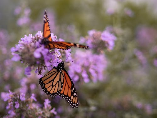 Free stock photo of butterflies, butterfly, flower, insect