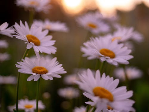 Free stock photo of bouquet, daisies, flower, summer