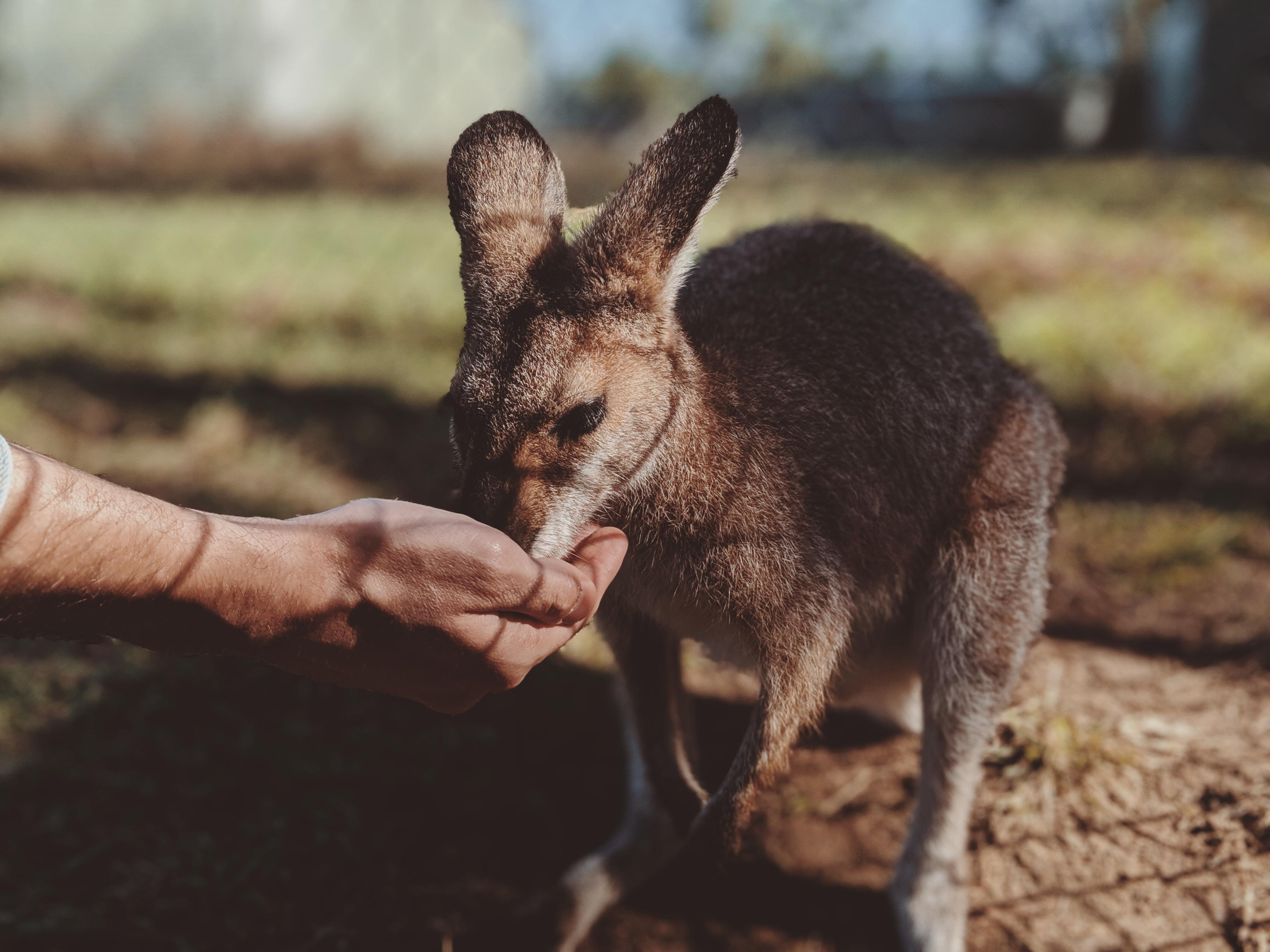 Close-Up Photo of Person's Hand Feeding a Kangaroo