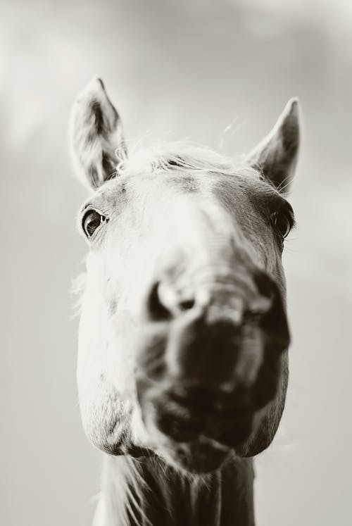 Grey Scale Photography of Horse's Face