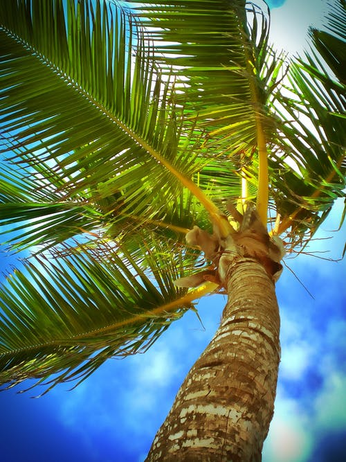 Foto d'estoc gratuïta de arbre, Carib, cel, coco
