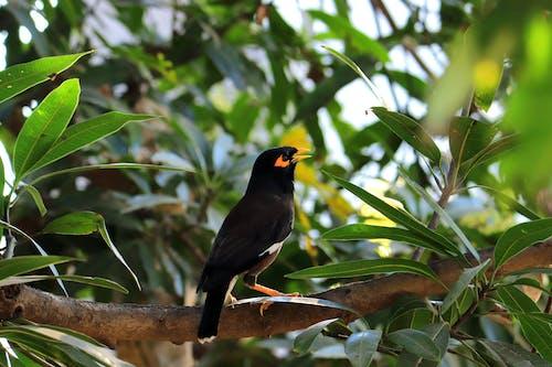 Free stock photo of black bird, indian, myna