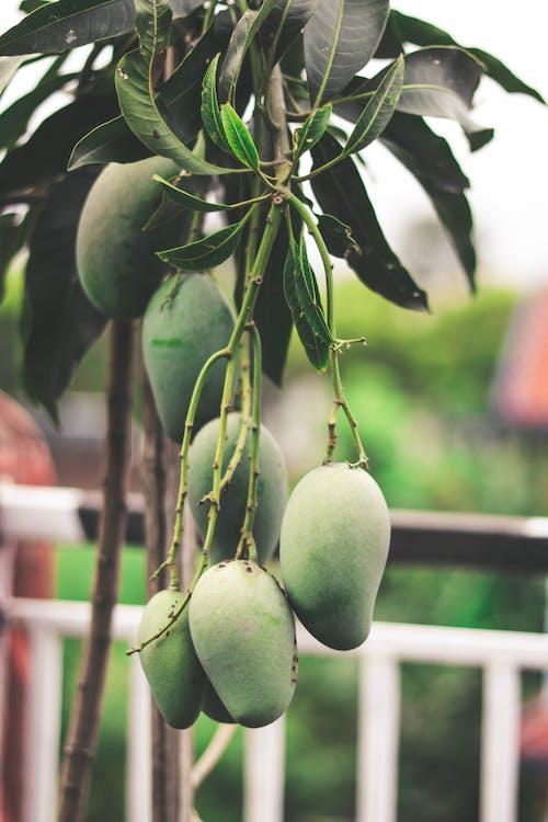 Kostenloses Stock Foto zu ast, früchte, hängen, mangos