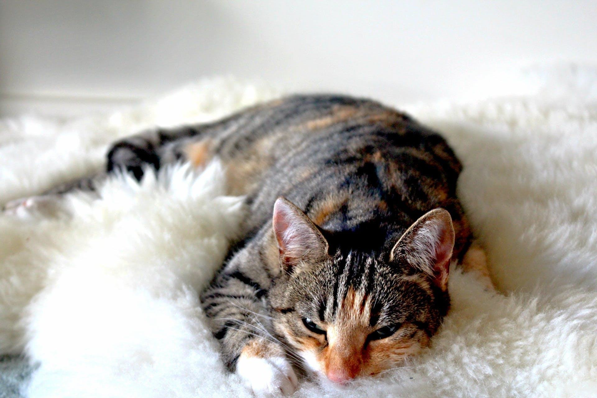 Cat Lying on Carpet