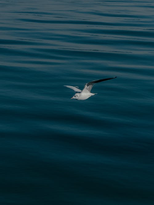 Fotos de stock gratuitas de ave marina, aves, azul, Gaviota