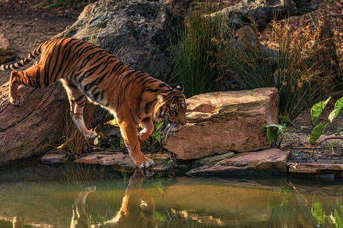 Photo of Bengal Tiger Walking Near Body of Water