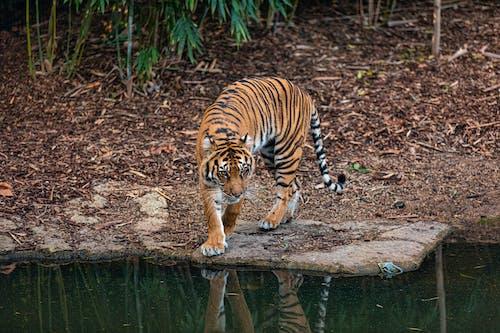 Gratis stockfoto met beest, bengaalse tijger, carnivoor, dieren in het wild