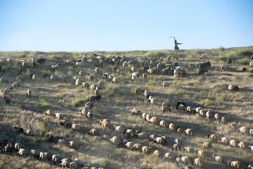 Ảnh lưu trữ miễn phí về ánh sáng ban ngày, bầy đàn, cánh đồng, chăn nuôi