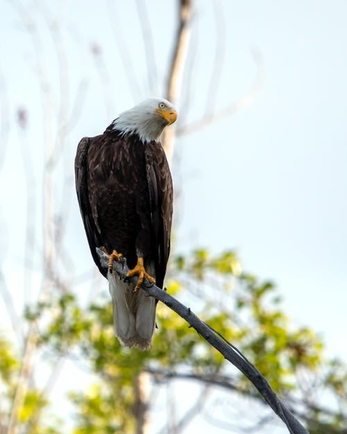 Fotos de stock gratuitas de Águila calva, ave rapaz, pájaro
