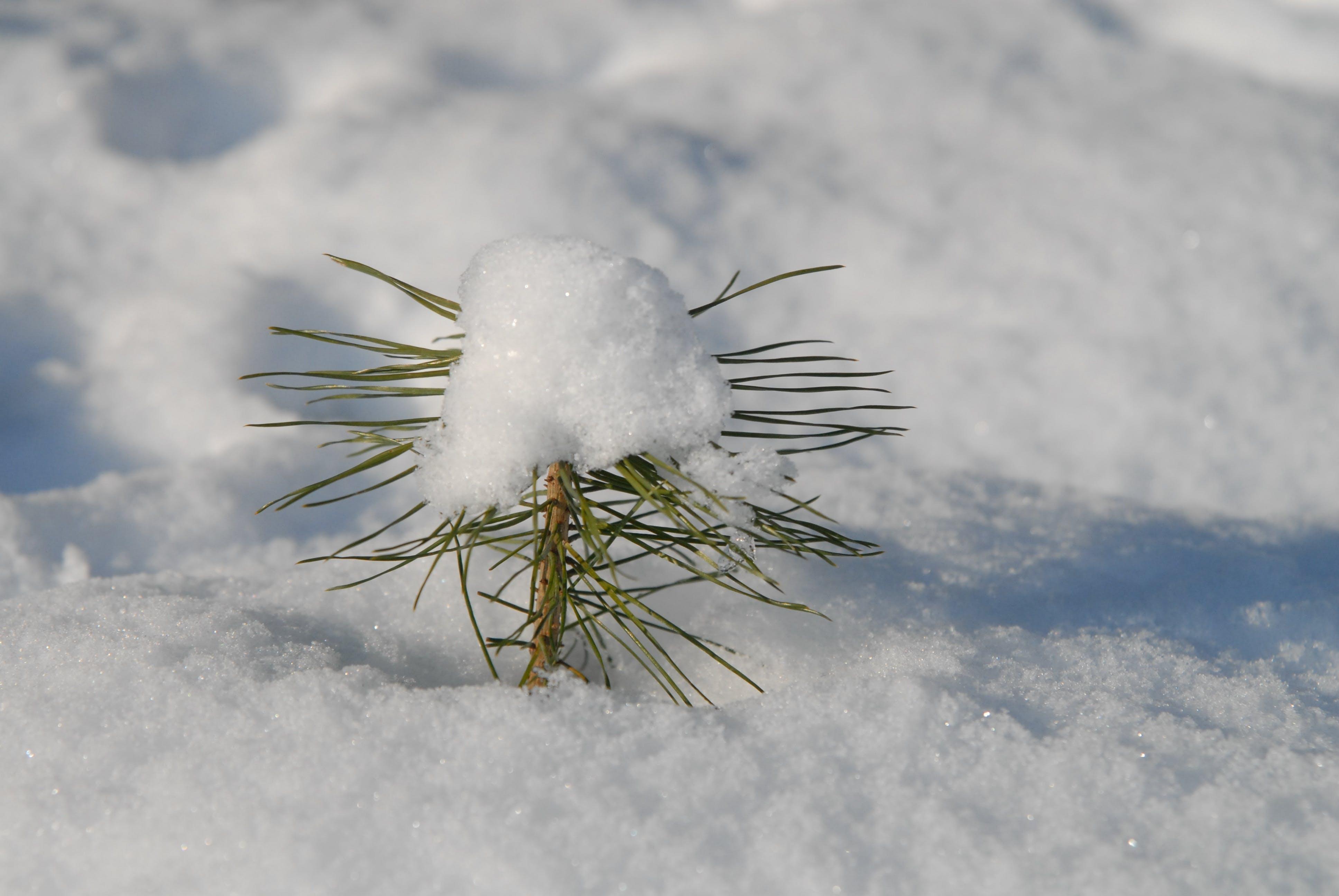 Free stock photo of cold, conifer, scion, snow