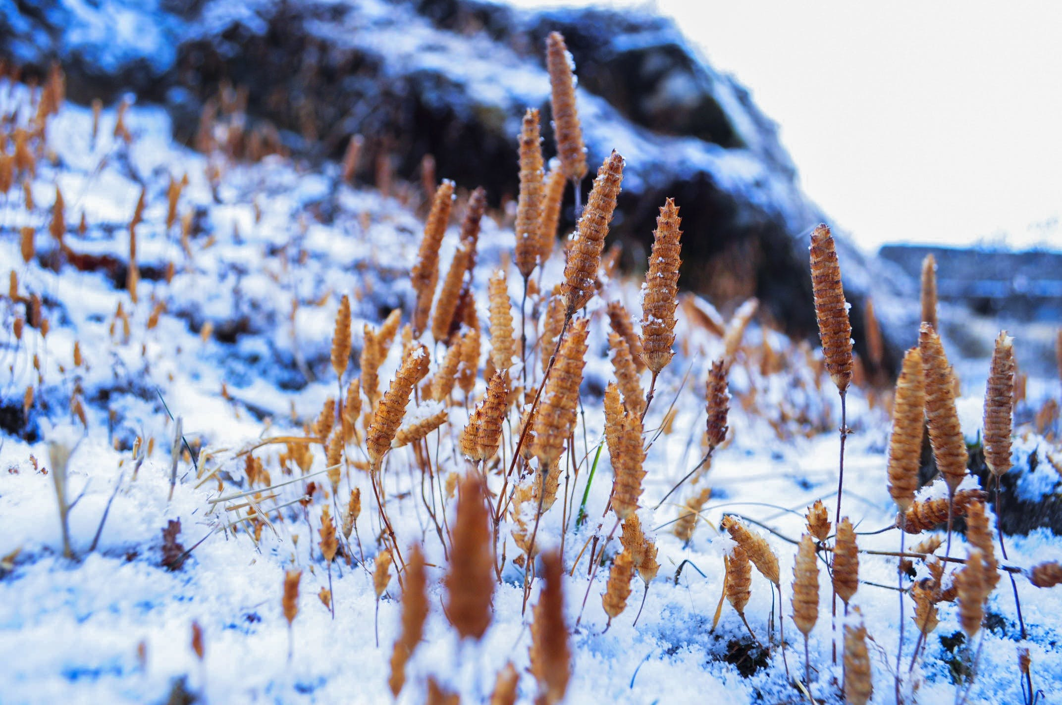 Wheat Plant Cover by Snow