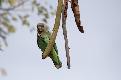 Gratis arkivbilde med papegøye, vill papegøye, villfugl