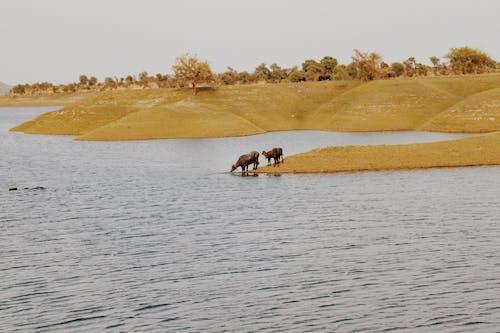 bufalo, göl içeren Ücretsiz stok fotoğraf
