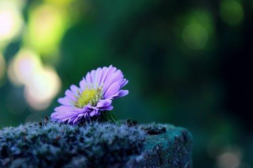 Gratis lagerfoto af blomst, close-up, ensomhed, farverig