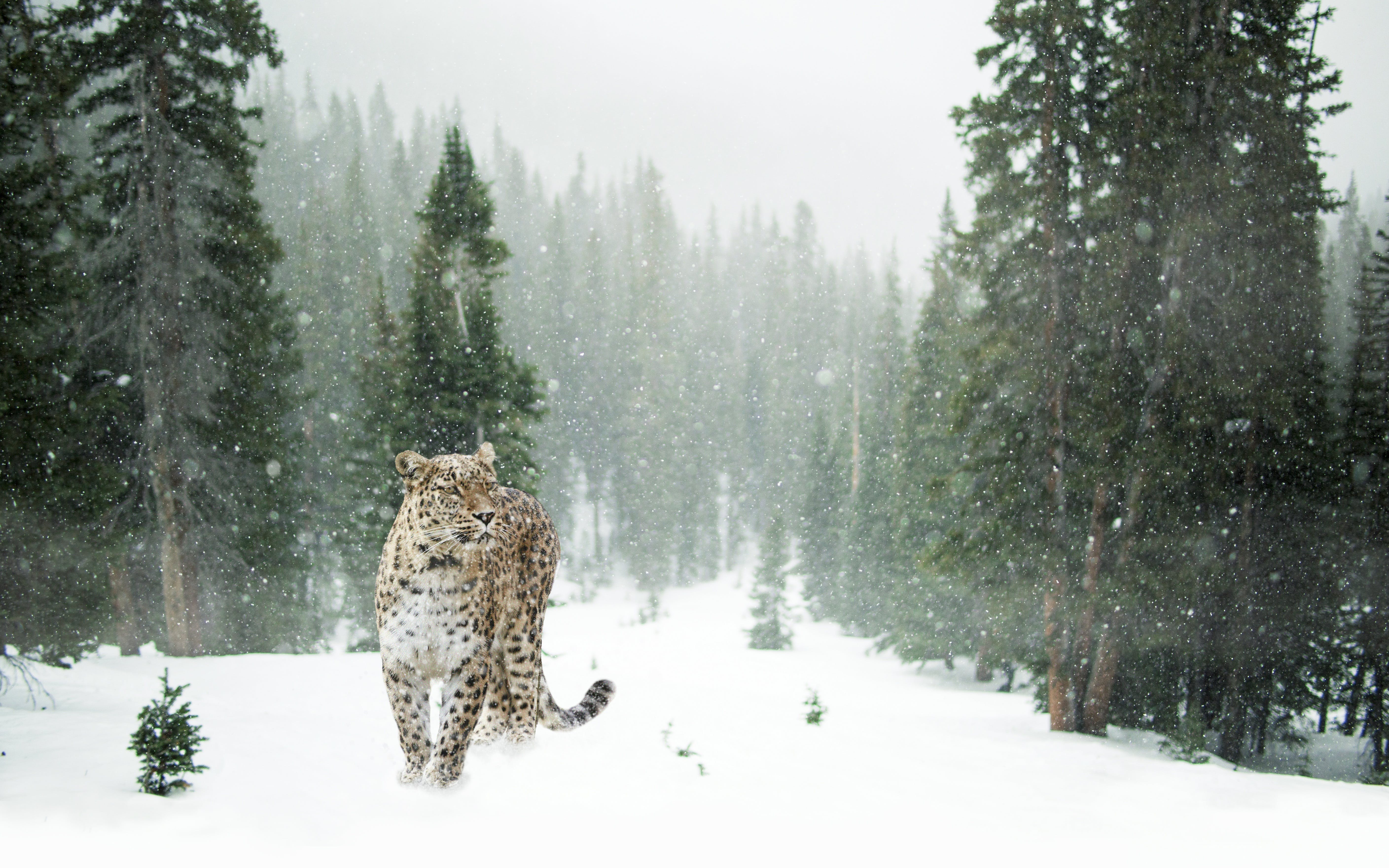 Brown and Black Leopard on Snow Covered Forest