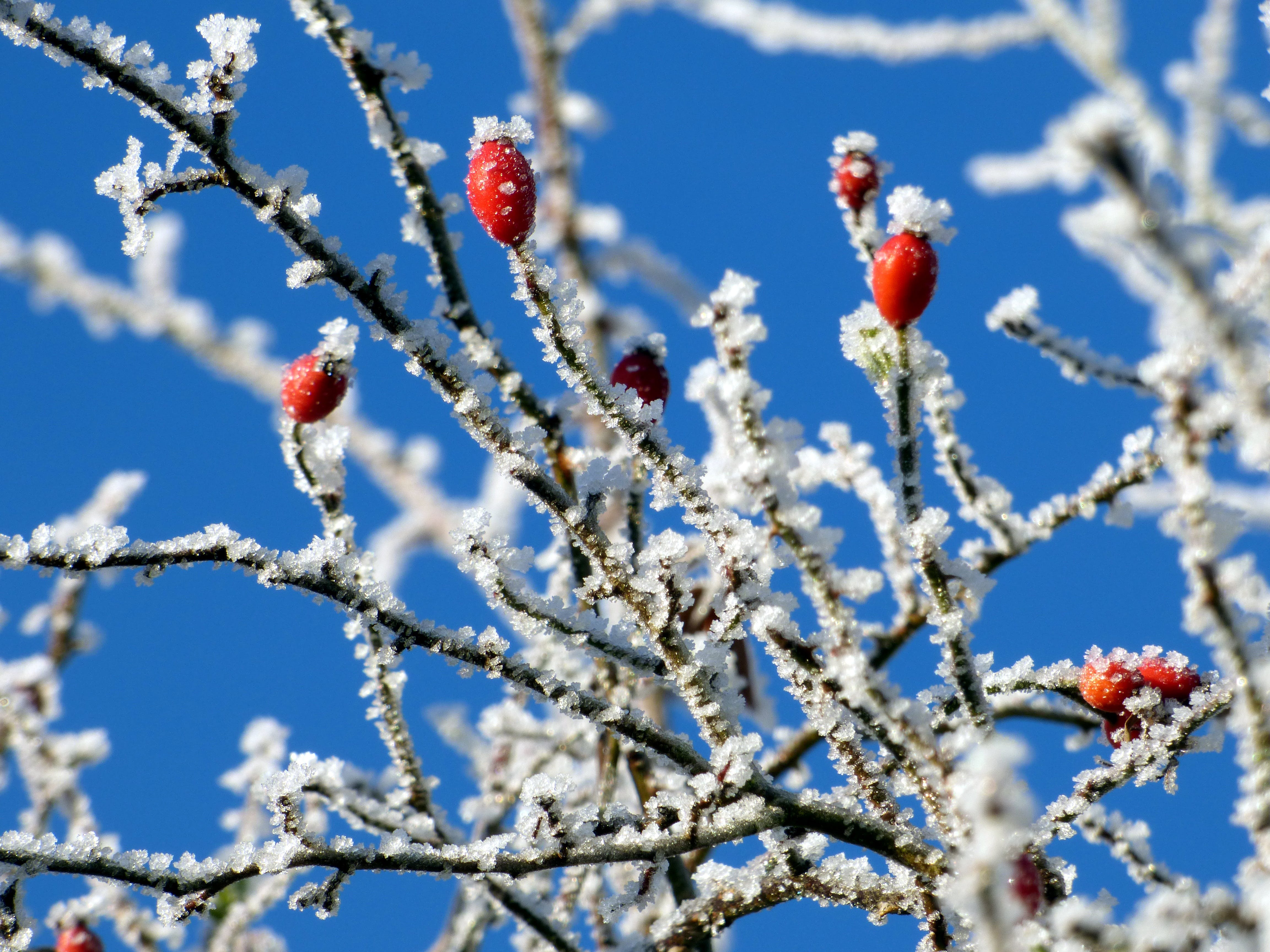 Red Fruits With White Snow