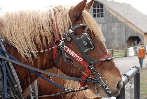 Ảnh lưu trữ miễn phí về con ngựa, hạt dẻ ngựa, nâu, nông trại