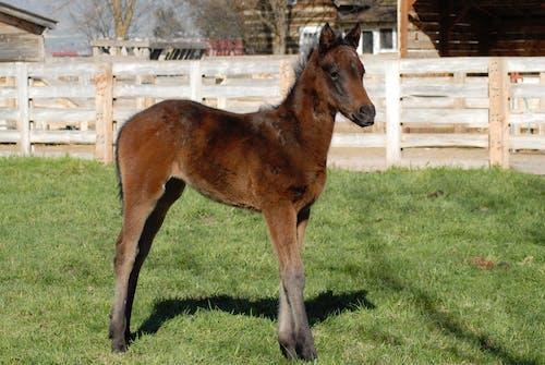 Photos gratuites de bébé cheval, charbon, cheval