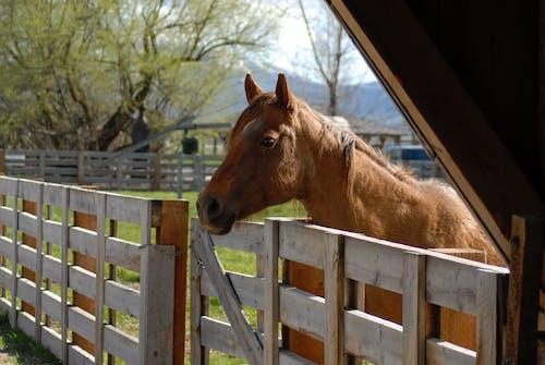 Photos gratuites de cheval, marronnier, tête de cheval