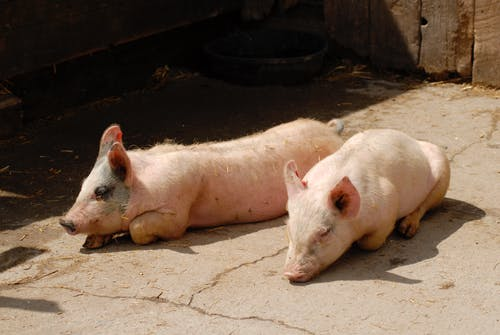 Photos gratuites de bébés cochons, cochons, cochons roses