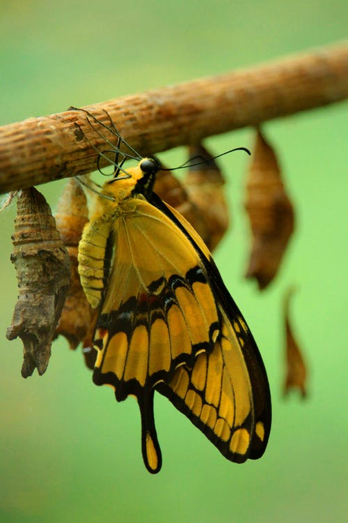 Yellow  and Black Butterfly