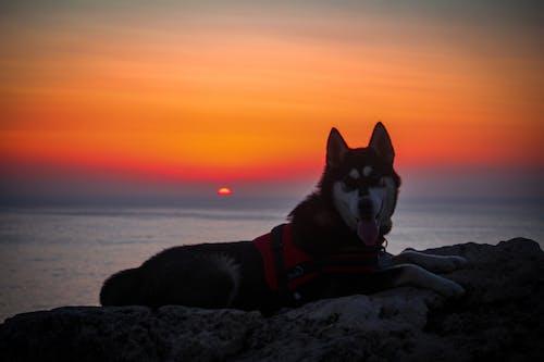 คลังภาพถ่ายฟรี ของ #sunset #dog #husky #animal
