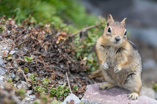 Free stock photo of animal, chipmunk, rodent, wildlife