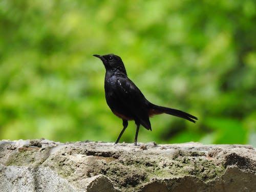 Ingyenes stockfotó apró madár, fekete madár, indiai robin, indiai robin madár témában