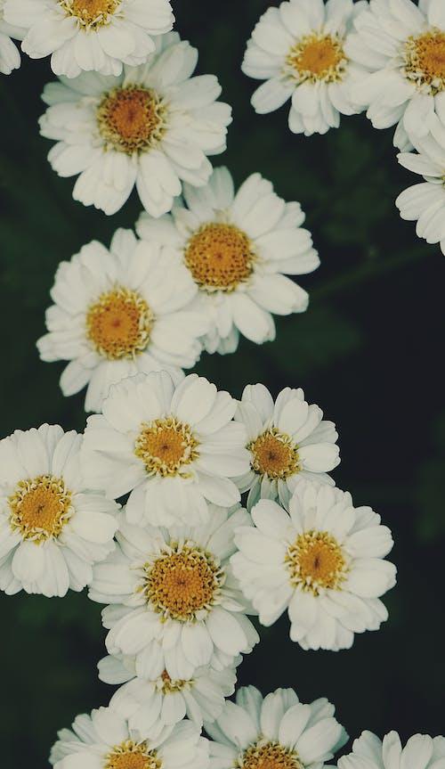 Gratis stockfoto met bloemachtig, bloemen, close-up, fabrieken