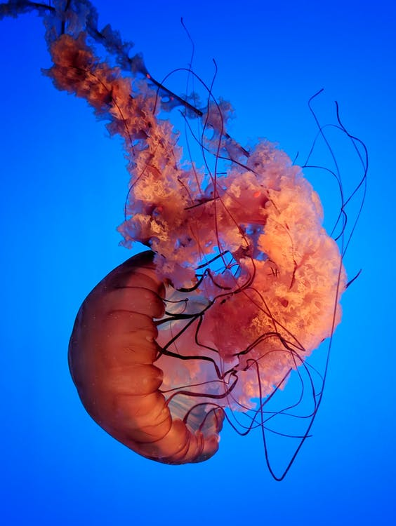 Pink Jelly Fish