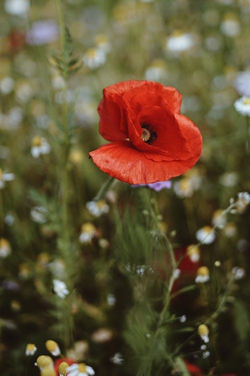 Выборочный фокус крупным планом фото красного цветка мака