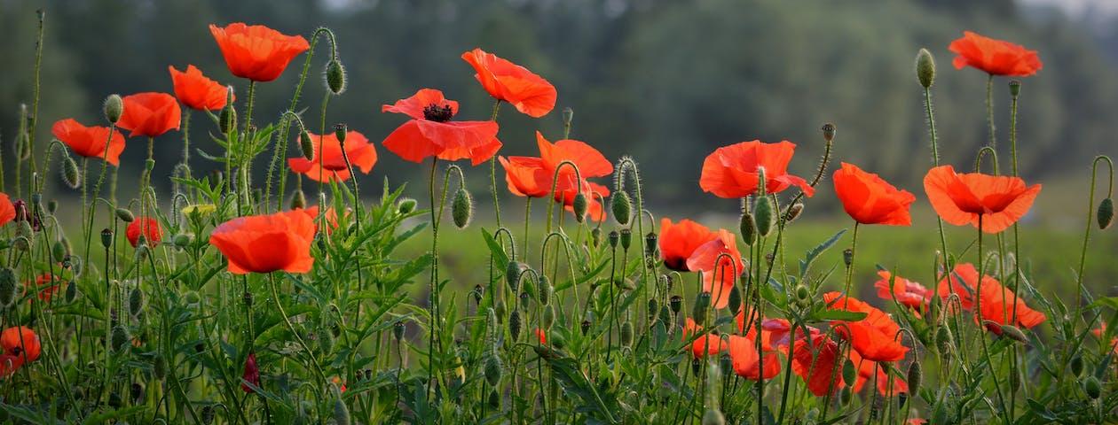 facebook background, flanders fields, flower