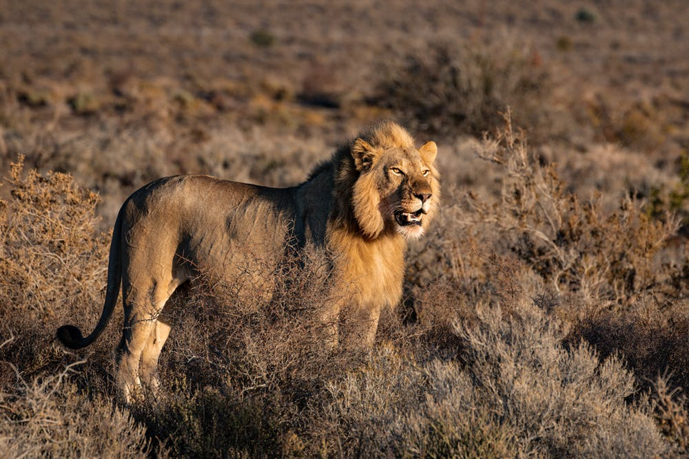 Lion on grass field. | Photo: