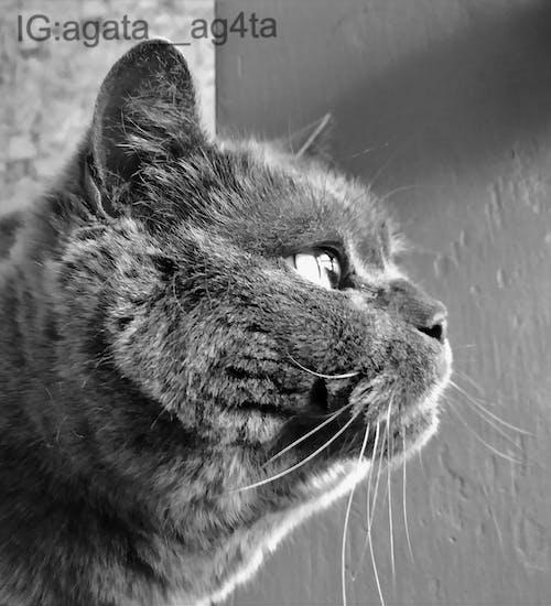 Kostenloses Stock Foto zu #cat #britishcat #greycat #greycolours
