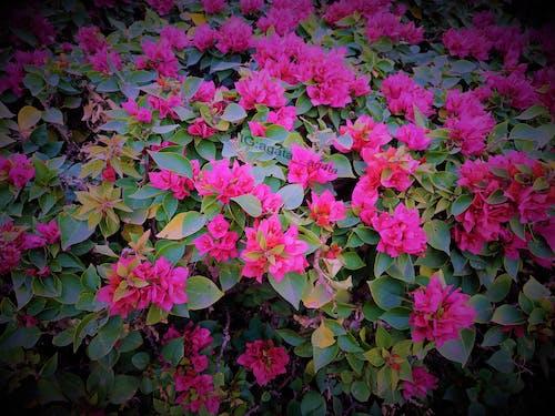Kostenloses Stock Foto zu blumen, natur, pinke blume