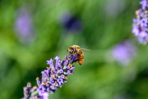 Imagine de stoc gratuită din albină, bokeh, floare
